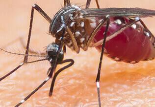 मलेरिया और चिकनगुनिया के बीच समानताएं