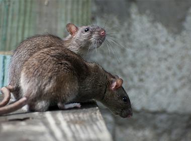 चूहे कौन कौन सी डिजीज/रोग फैला सकते हैं ?